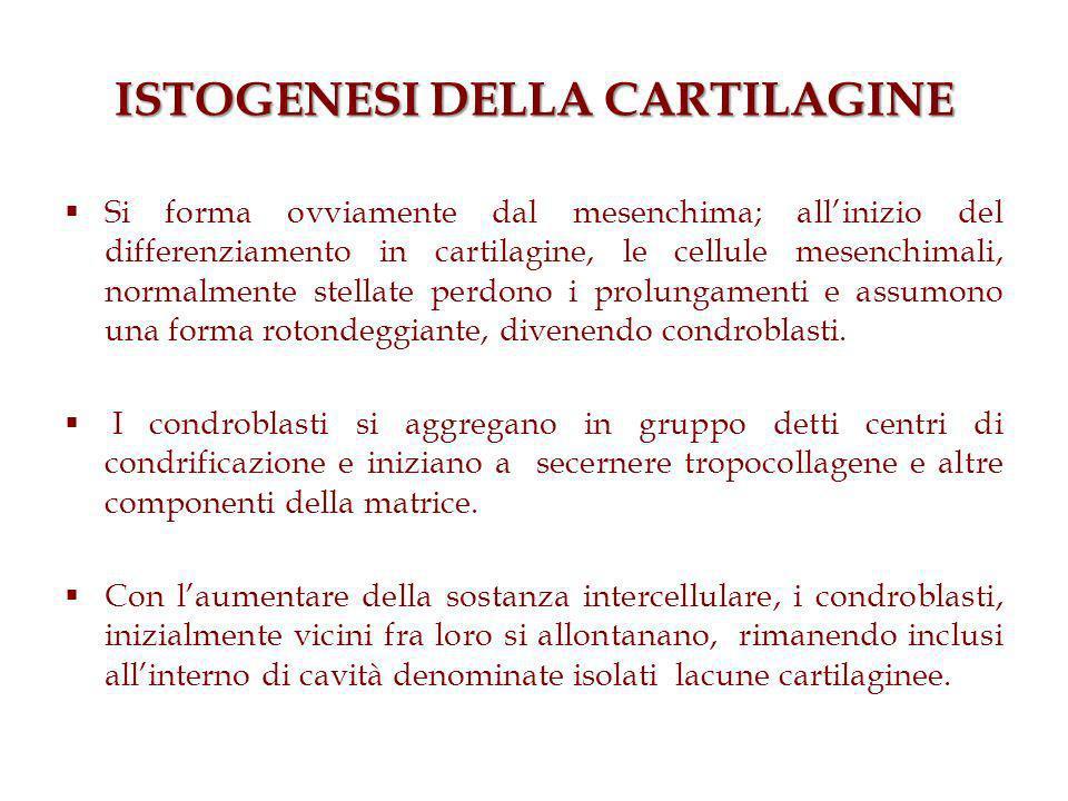 ISTOGENESI DELLA CARTILAGINE Si forma ovviamente dal mesenchima; allinizio del differenziamento in cartilagine, le cellule mesenchimali, normalmente stellate perdono i prolungamenti e assumono una forma rotondeggiante, divenendo condroblasti.