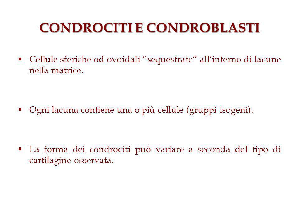 CONDROCITI E CONDROBLASTI Cellule sferiche od ovoidali sequestrate allinterno di lacune nella matrice. Ogni lacuna contiene una o più cellule (gruppi