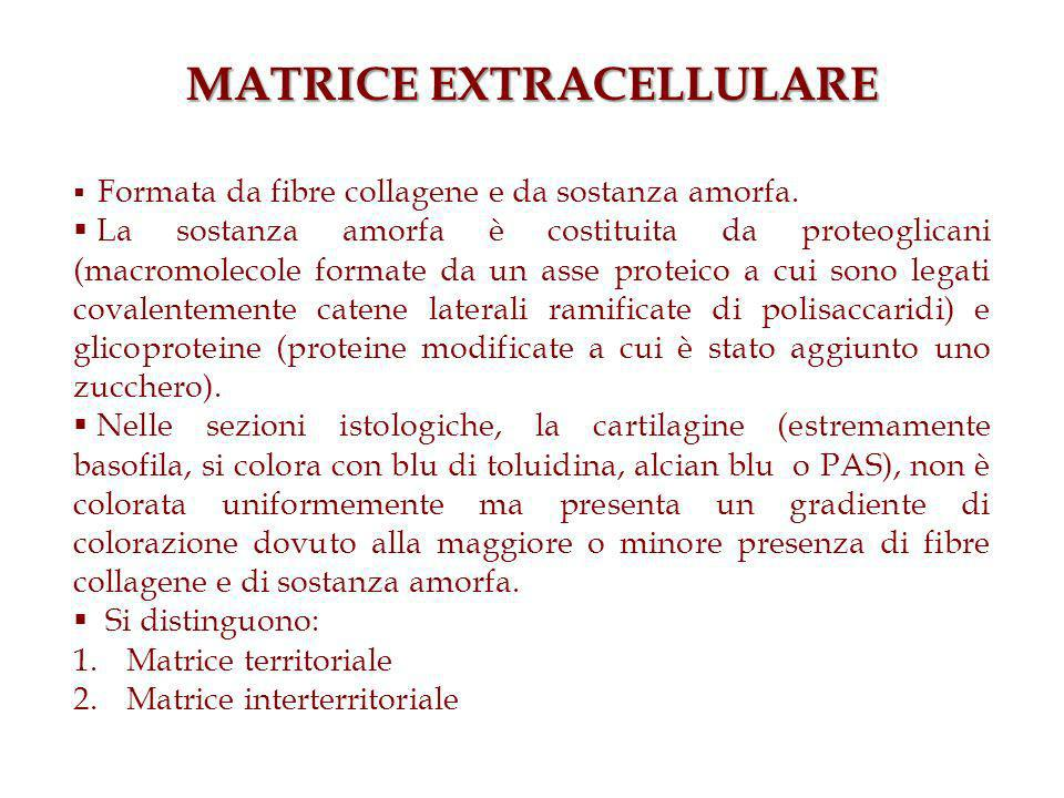 MATRICE EXTRACELLULARE Formata da fibre collagene e da sostanza amorfa.
