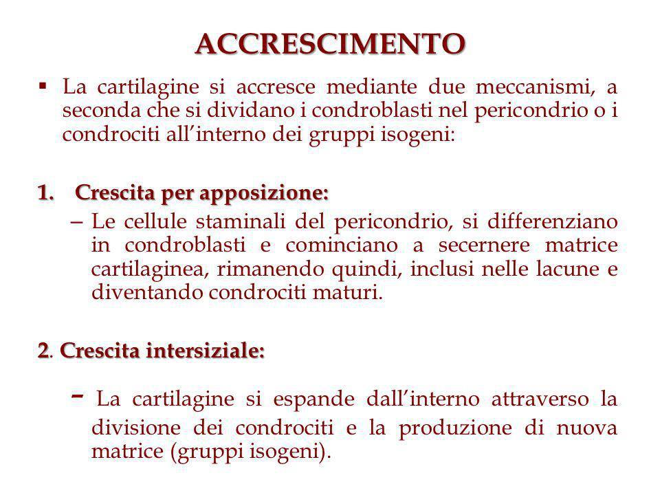 ACCRESCIMENTO La cartilagine si accresce mediante due meccanismi, a seconda che si dividano i condroblasti nel pericondrio o i condrociti allinterno dei gruppi isogeni: 1.Crescita per apposizione: – Le cellule staminali del pericondrio, si differenziano in condroblasti e cominciano a secernere matrice cartilaginea, rimanendo quindi, inclusi nelle lacune e diventando condrociti maturi.