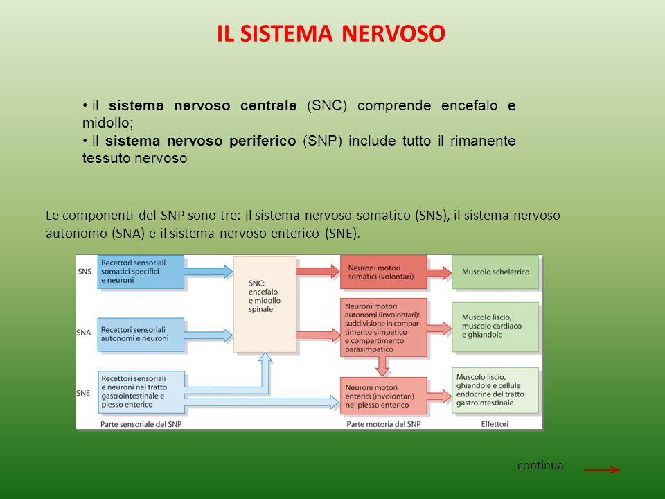 il sistema nervoso centrale (SNC) comprende encefalo e midollo; il sistema nervoso periferico (SNP) include tutto il rimanente tessuto nervoso continua Le componenti del SNP sono tre: il sistema nervoso somatico (SNS), il sistema nervoso autonomo (SNA) e il sistema nervoso enterico (SNE).