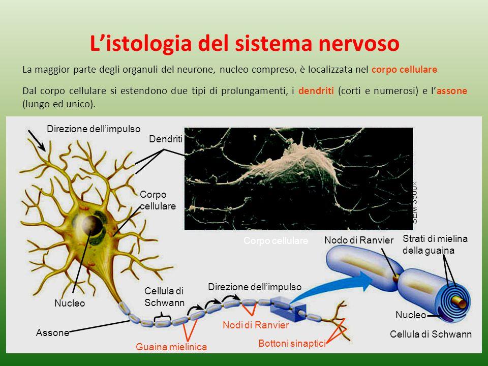Cellula di Schwann Direzione dellimpulso Dendriti Corpo cellulare Nucleo Assone Cellula di Schwann Direzione dellimpulso Guaina mielinica Nodi di Ranvier Nodo di Ranvier Nucleo Bottoni sinaptici Corpo cellulare SEM 3600 Strati di mielina della guaina La maggior parte degli organuli del neurone, nucleo compreso, è localizzata nel corpo cellulare Dal corpo cellulare si estendono due tipi di prolungamenti, i dendriti (corti e numerosi) e lassone (lungo ed unico).