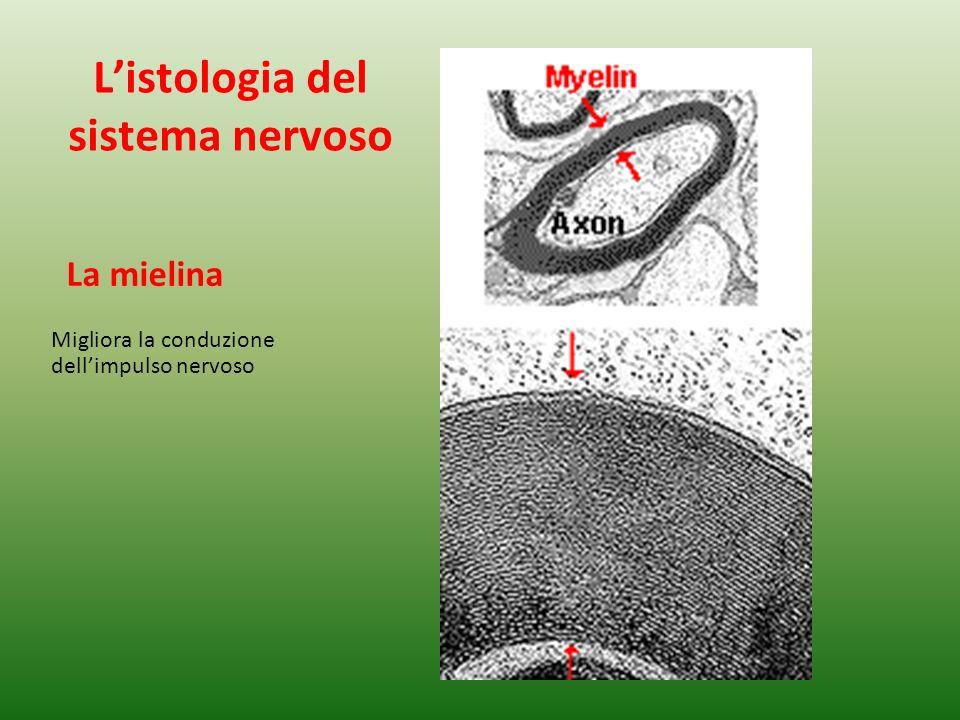 La mielina Migliora la conduzione dellimpulso nervoso Listologia del sistema nervoso