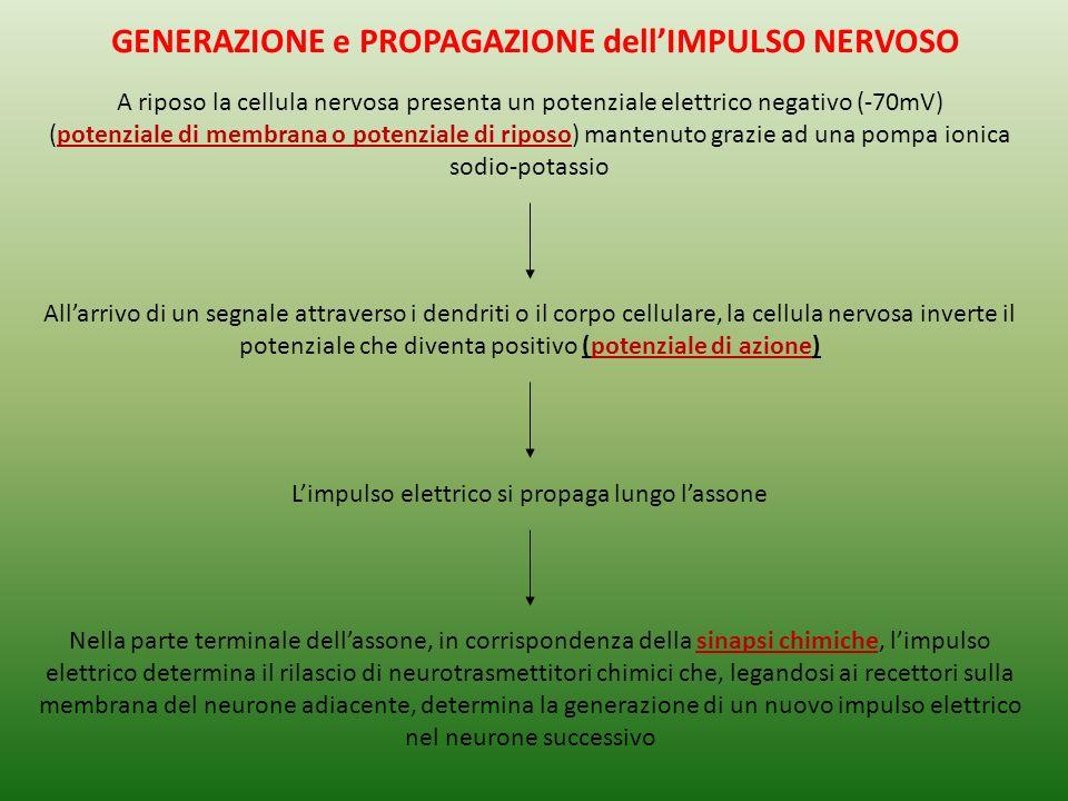 GENERAZIONE e PROPAGAZIONE dellIMPULSO NERVOSO A riposo la cellula nervosa presenta un potenziale elettrico negativo (-70mV) (potenziale di membrana o potenziale di riposo) mantenuto grazie ad una pompa ionica sodio-potassio Allarrivo di un segnale attraverso i dendriti o il corpo cellulare, la cellula nervosa inverte il potenziale che diventa positivo (potenziale di azione) Limpulso elettrico si propaga lungo lassone Nella parte terminale dellassone, in corrispondenza della sinapsi chimiche, limpulso elettrico determina il rilascio di neurotrasmettitori chimici che, legandosi ai recettori sulla membrana del neurone adiacente, determina la generazione di un nuovo impulso elettrico nel neurone successivo