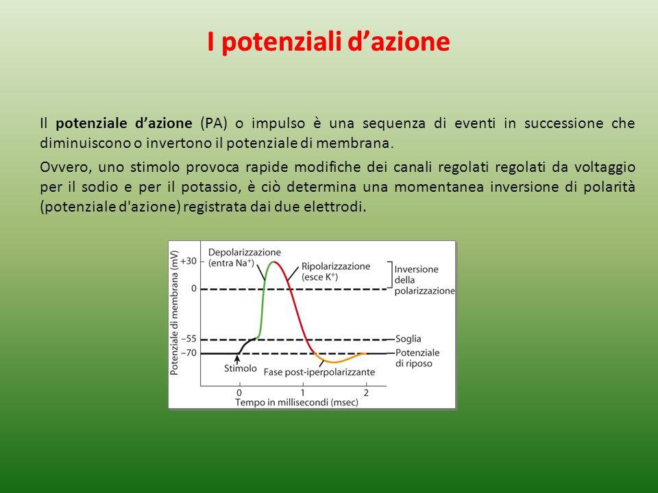 I potenziali dazione Il potenziale dazione (PA) o impulso è una sequenza di eventi in successione che diminuiscono o invertono il potenziale di membrana.