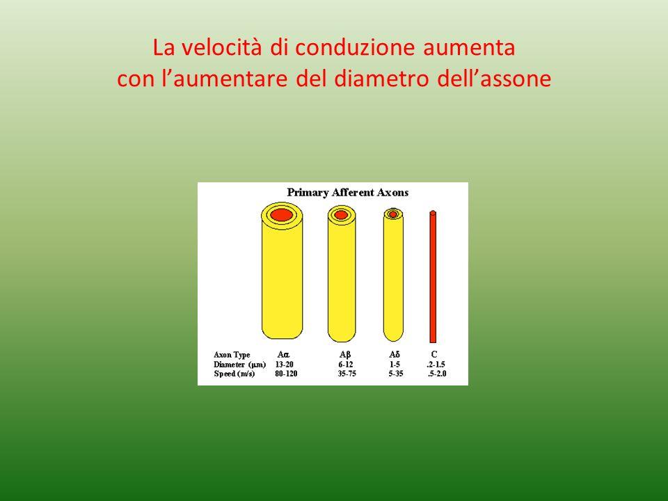 La velocità di conduzione aumenta con laumentare del diametro dellassone