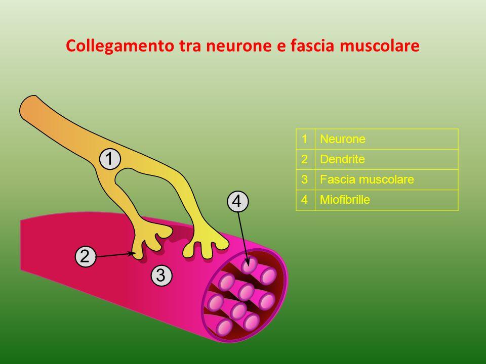 Collegamento tra neurone e fascia muscolare 1Neurone 2Dendrite 3Fascia muscolare 4Miofibrille