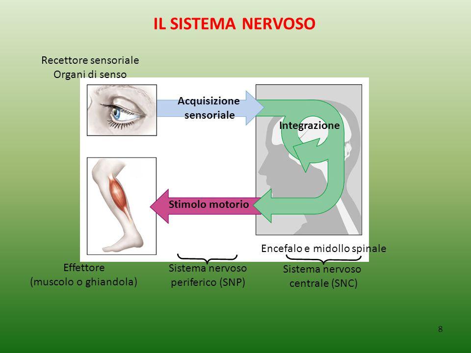 8 IL SISTEMA NERVOSO Acquisizione sensoriale Recettore sensoriale Organi di senso Effettore (muscolo o ghiandola) Stimolo motorio Integrazione Sistema nervoso periferico (SNP) Encefalo e midollo spinale Sistema nervoso centrale (SNC)