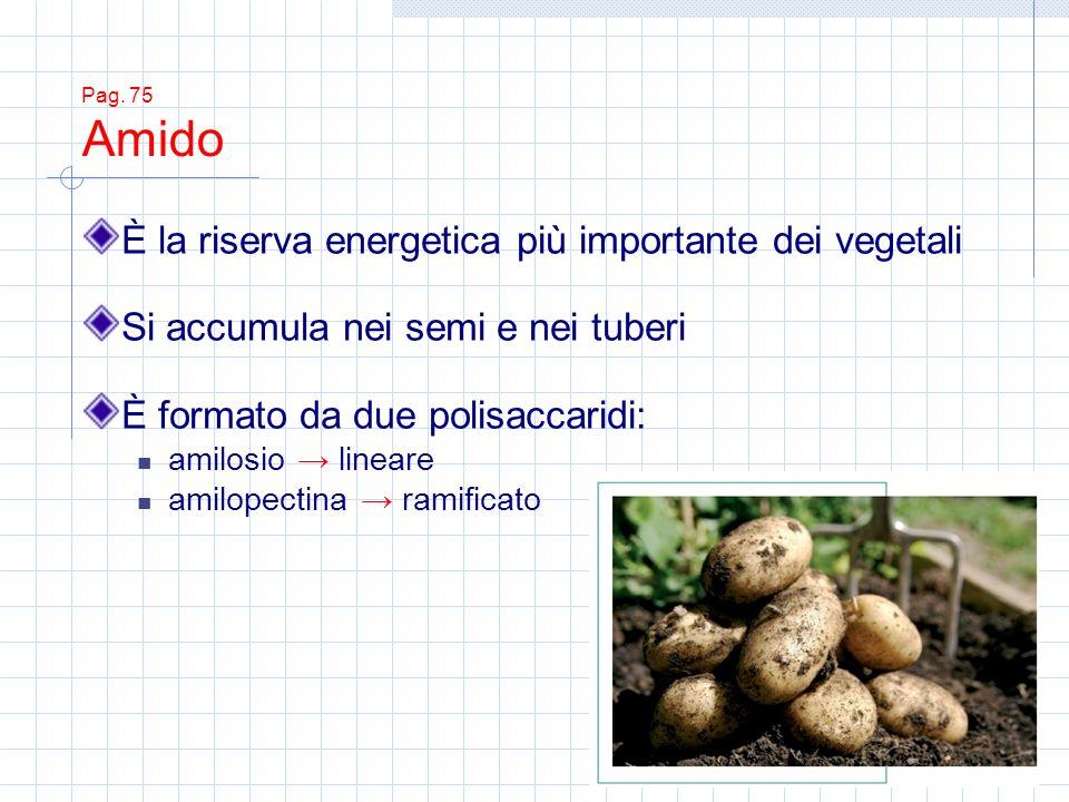 Pag. 75 Amido È la riserva energetica più importante dei vegetali Si accumula nei semi e nei tuberi È formato da due polisaccaridi: amilosio lineare a