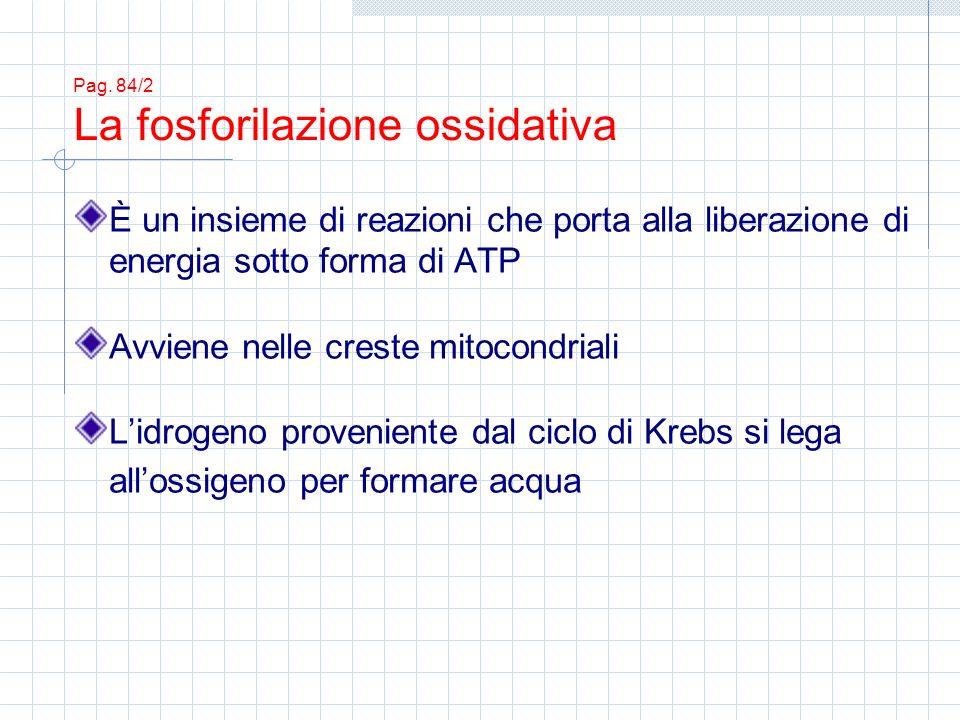 Pag. 84/2 La fosforilazione ossidativa È un insieme di reazioni che porta alla liberazione di energia sotto forma di ATP Avviene nelle creste mitocond