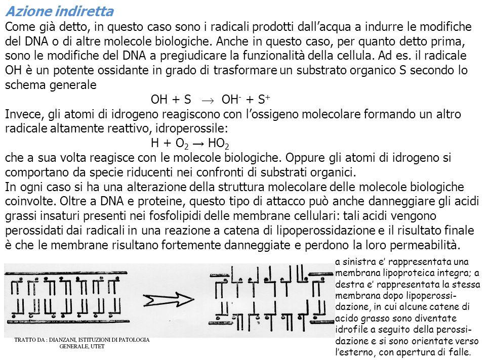 Azione indiretta Come già detto, in questo caso sono i radicali prodotti dallacqua a indurre le modifiche del DNA o di altre molecole biologiche. Anch