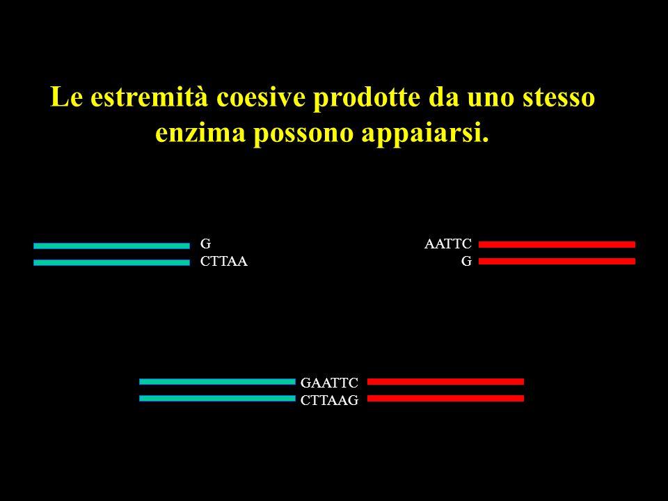 G CTTAA AATTC G GAATTC CTTAAG Le estremità coesive prodotte da uno stesso enzima possono appaiarsi.