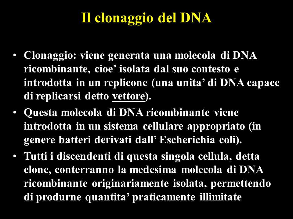 Il clonaggio del DNA Clonaggio: viene generata una molecola di DNA ricombinante, cioe isolata dal suo contesto e introdotta in un replicone (una unita