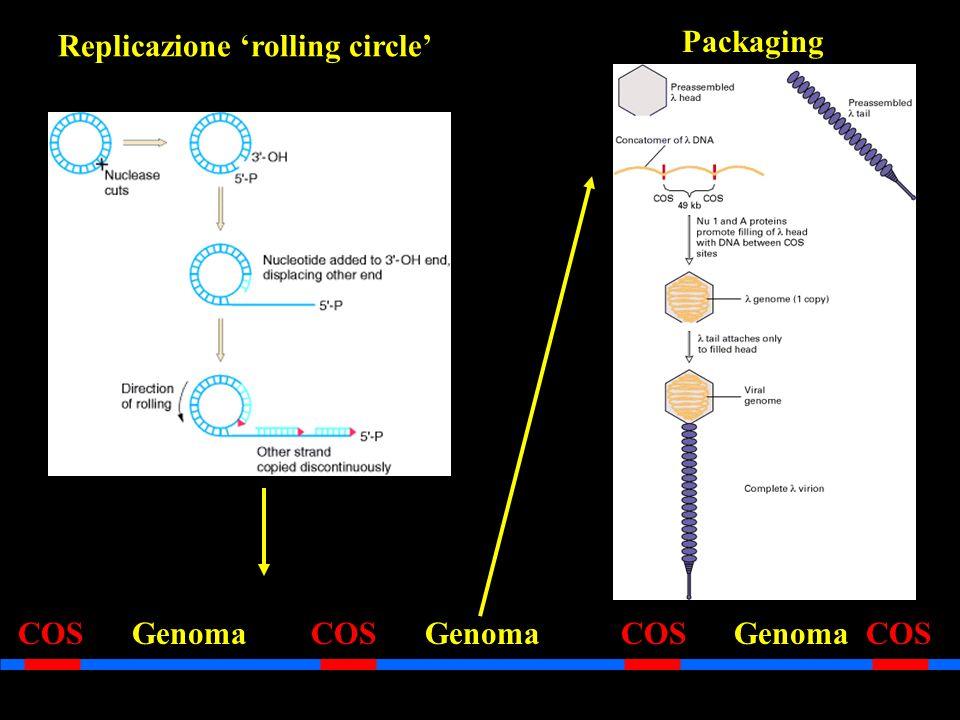 Replicazione rolling circle COS Genoma COS Genoma COS Genoma COS Packaging