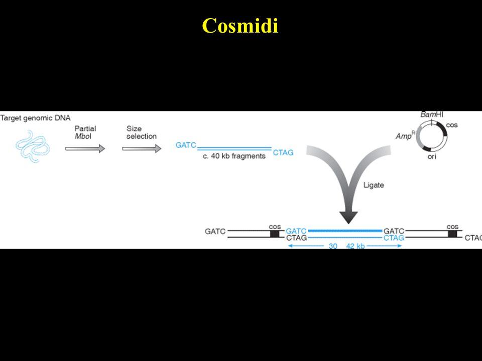 Cosmidi