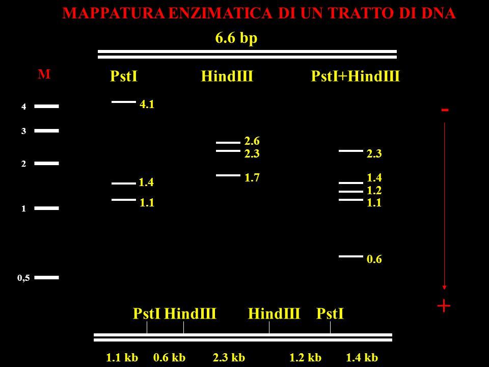 MAPPATURA ENZIMATICA DI UN TRATTO DI DNA 6.6 bp PstI HindIII 1.1 kb 0.6 kb 2.3 kb 1.2 kb 1.4 kb PstIHindIII M 1 2 3 4 + 0,5 PstI+HindIII 1.1 1.4 4.1 -