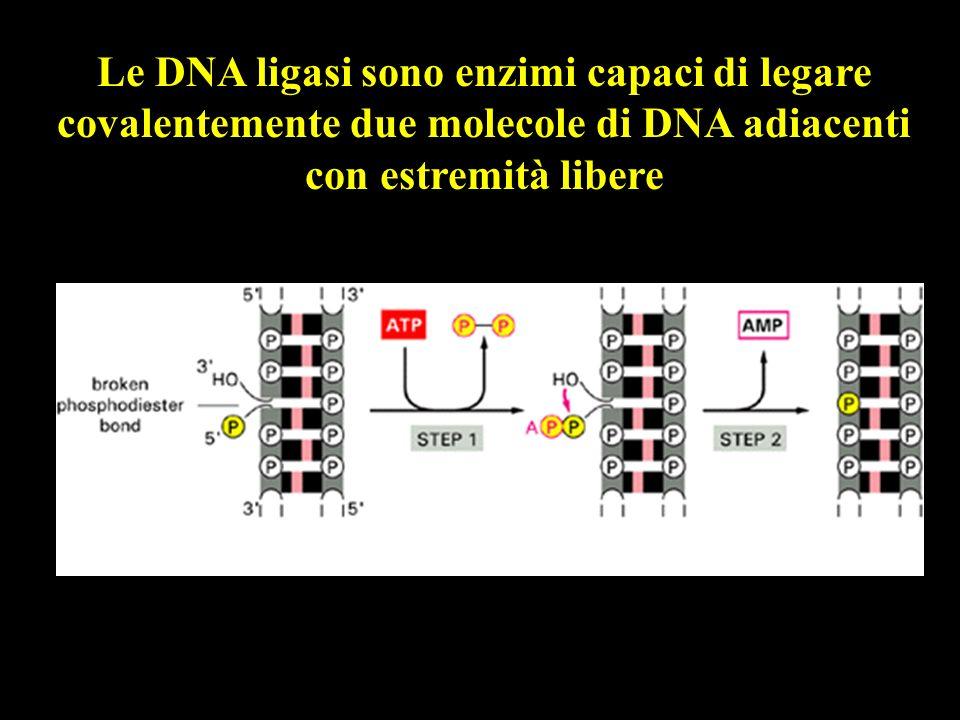 Le DNA ligasi sono enzimi capaci di legare covalentemente due molecole di DNA adiacenti con estremità libere