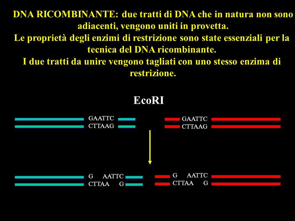 DNA RICOMBINANTE: due tratti di DNA che in natura non sono adiacenti, vengono uniti in provetta. Le proprietà degli enzimi di restrizione sono state e