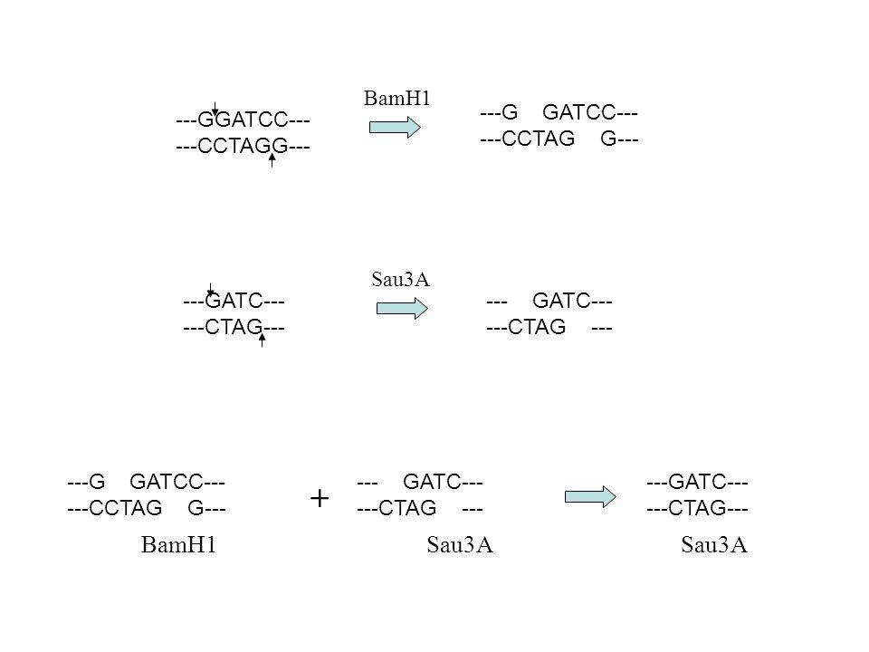 ---GGATCC--- ---CCTAGG--- ---G GATCC--- ---CCTAG G--- BamH1 ---GATC--- ---CTAG--- --- GATC--- ---CTAG --- Sau3A --- GATC--- ---CTAG --- + ---GATC--- ---CTAG--- BamH1 Sau3A Sau3A ---G GATCC--- ---CCTAG G---