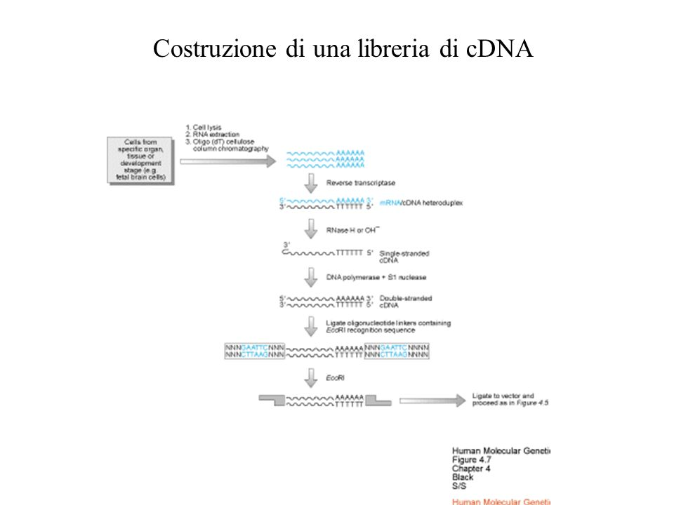 Costruzione di una libreria di cDNA