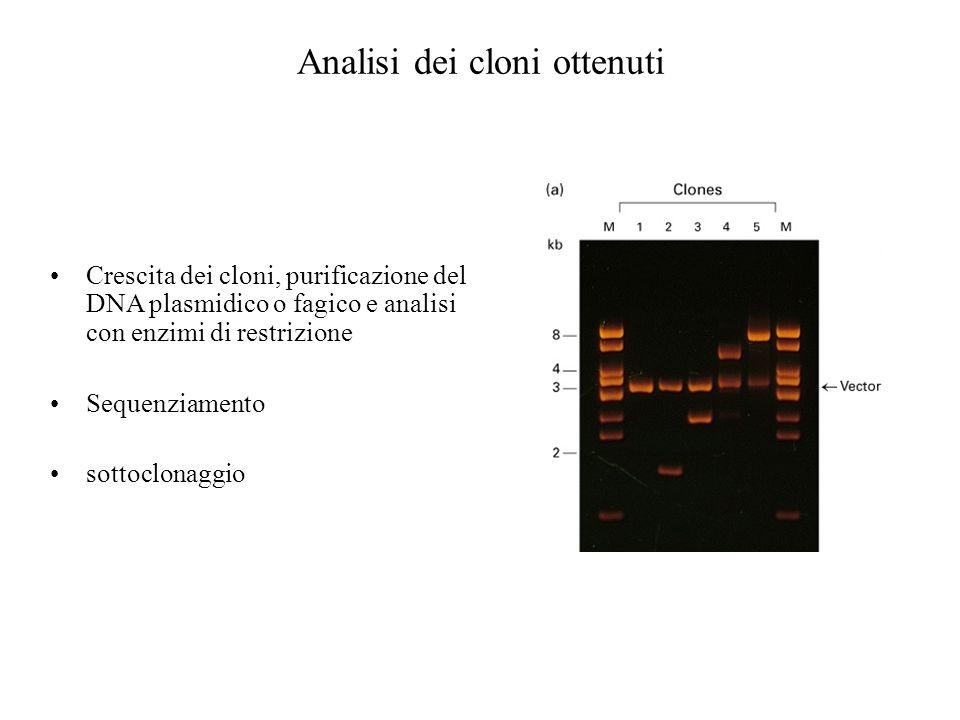Analisi dei cloni ottenuti Crescita dei cloni, purificazione del DNA plasmidico o fagico e analisi con enzimi di restrizione Sequenziamento sottoclona