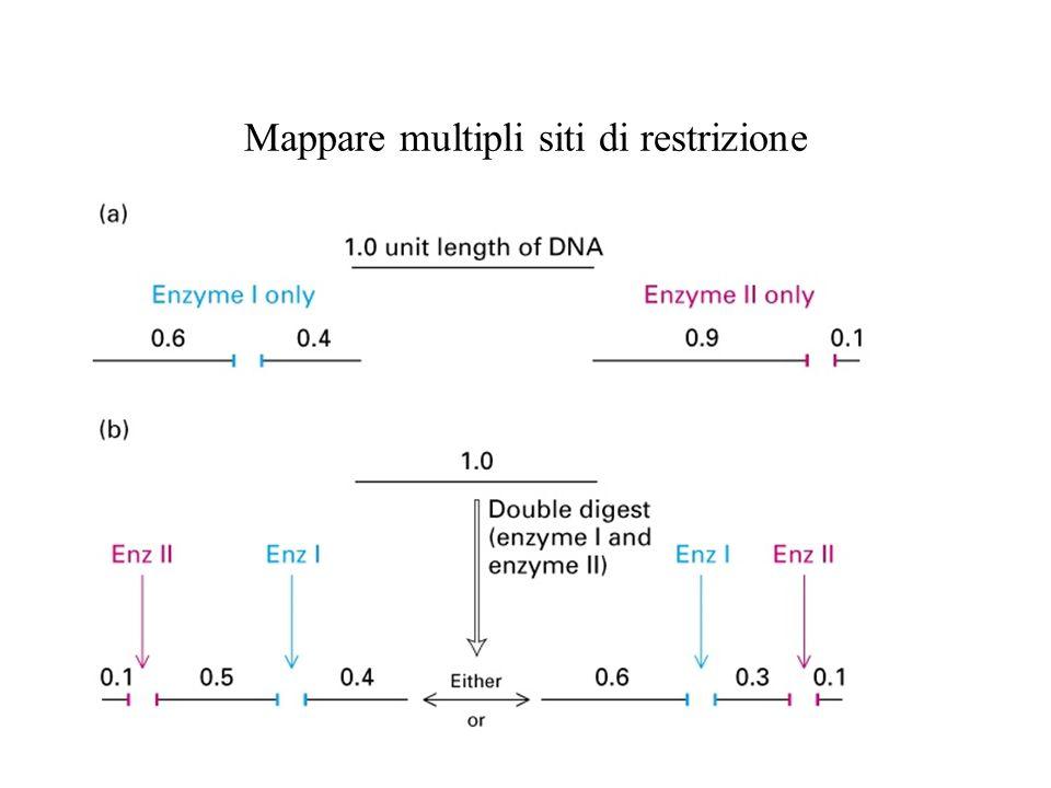 Mappare multipli siti di restrizione