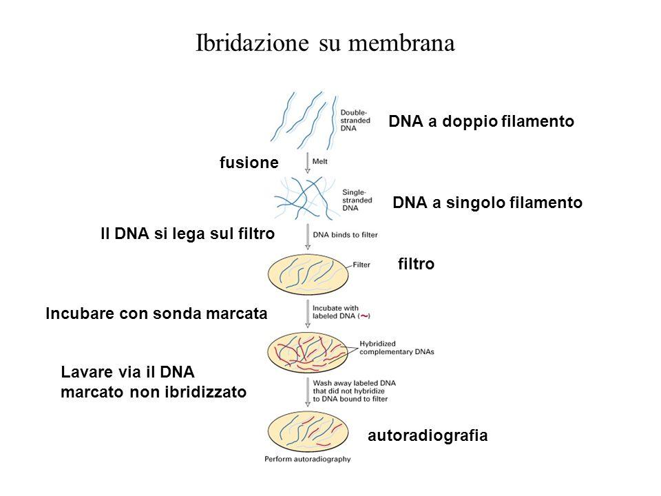 Ibridazione su membrana DNA a doppio filamento fusione Il DNA si lega sul filtro DNA a singolo filamento Incubare con sonda marcata filtro Lavare via