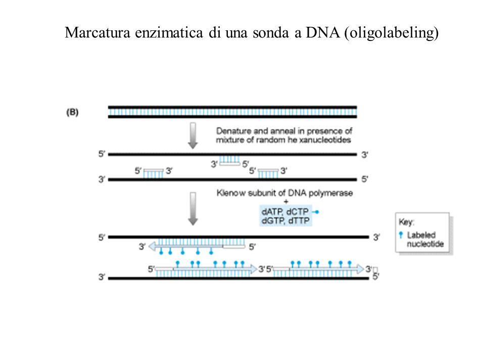 Marcatura enzimatica di una sonda a DNA (oligolabeling)