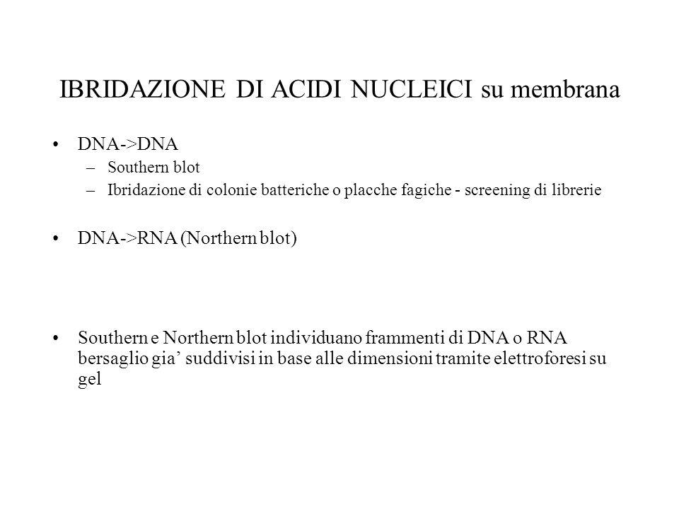 IBRIDAZIONE DI ACIDI NUCLEICI su membrana DNA->DNA –Southern blot –Ibridazione di colonie batteriche o placche fagiche - screening di librerie DNA->RN