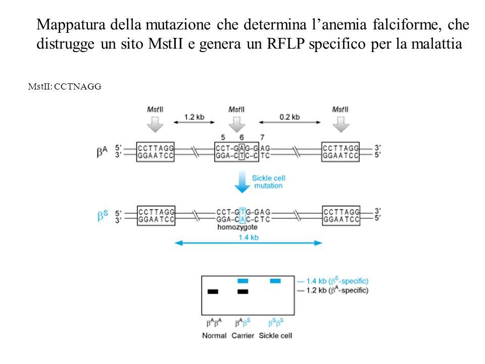 Mappatura della mutazione che determina lanemia falciforme, che distrugge un sito MstII e genera un RFLP specifico per la malattia MstII: CCTNAGG