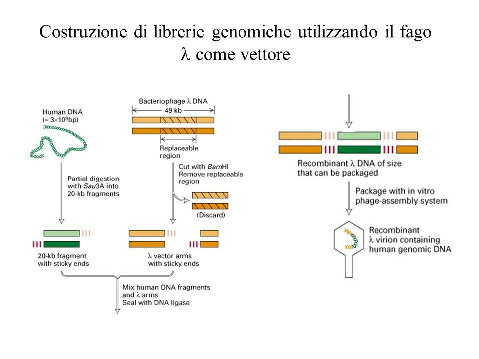 Ibridazione su membrana DNA a doppio filamento fusione Il DNA si lega sul filtro DNA a singolo filamento Incubare con sonda marcata filtro Lavare via il DNA marcato non ibridizzato autoradiografia