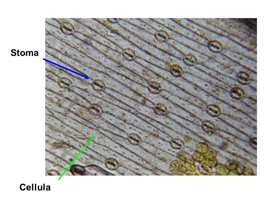 Cellula Stoma