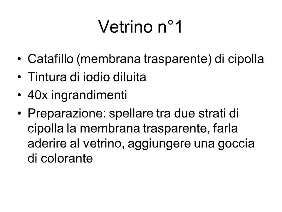 Vetrino n°1 Catafillo (membrana trasparente) di cipolla Tintura di iodio diluita 40x ingrandimenti Preparazione: spellare tra due strati di cipolla la
