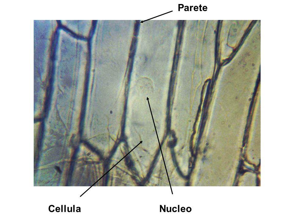 Vetrino n°2 Foglia di ciclamino Bisturi Acqua Preparazione: spellare dalla pagina inferiore la membrana della foglia, metterla su un vetrino, aggiungere goccia dacqua