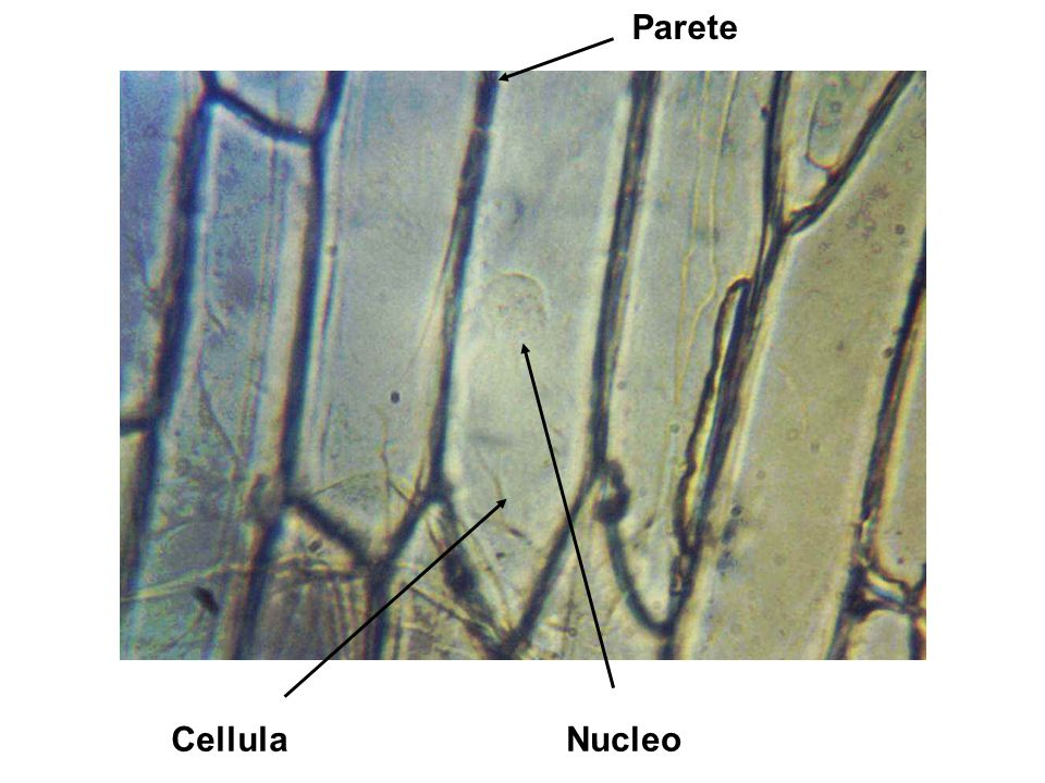 Cellula singola