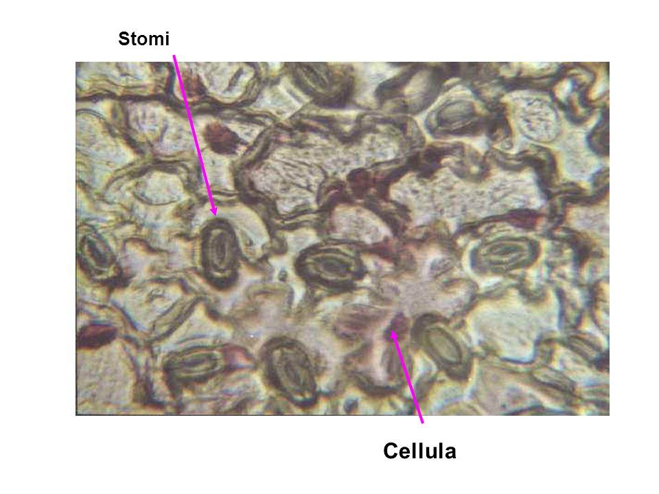 Cellula Stomi