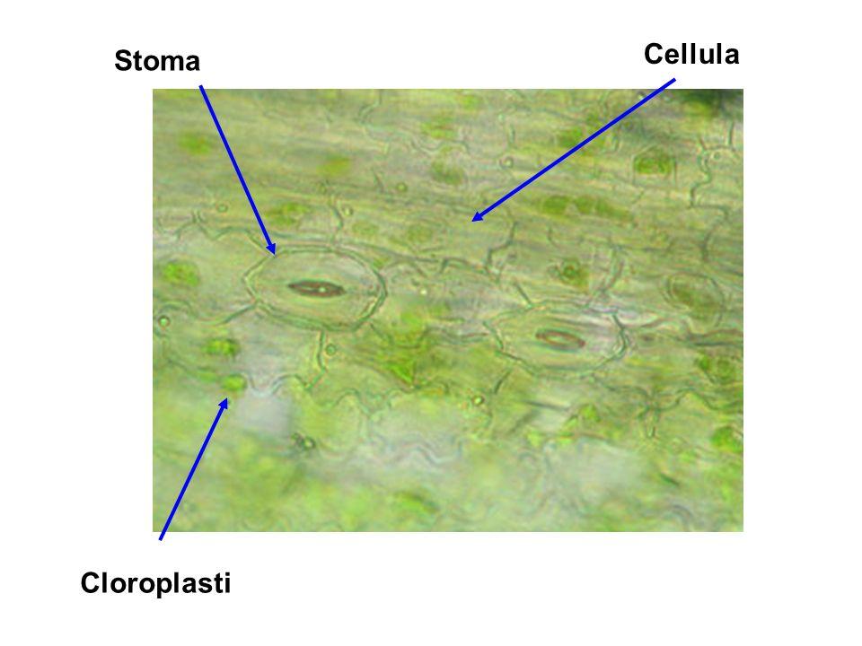 Vetrino n°7 Radicchio, acqua Preparazione: spellare dalla pagina inferiore della foglia la membrana e farla aderire al vetrino, aggiungere una goccia dacqua