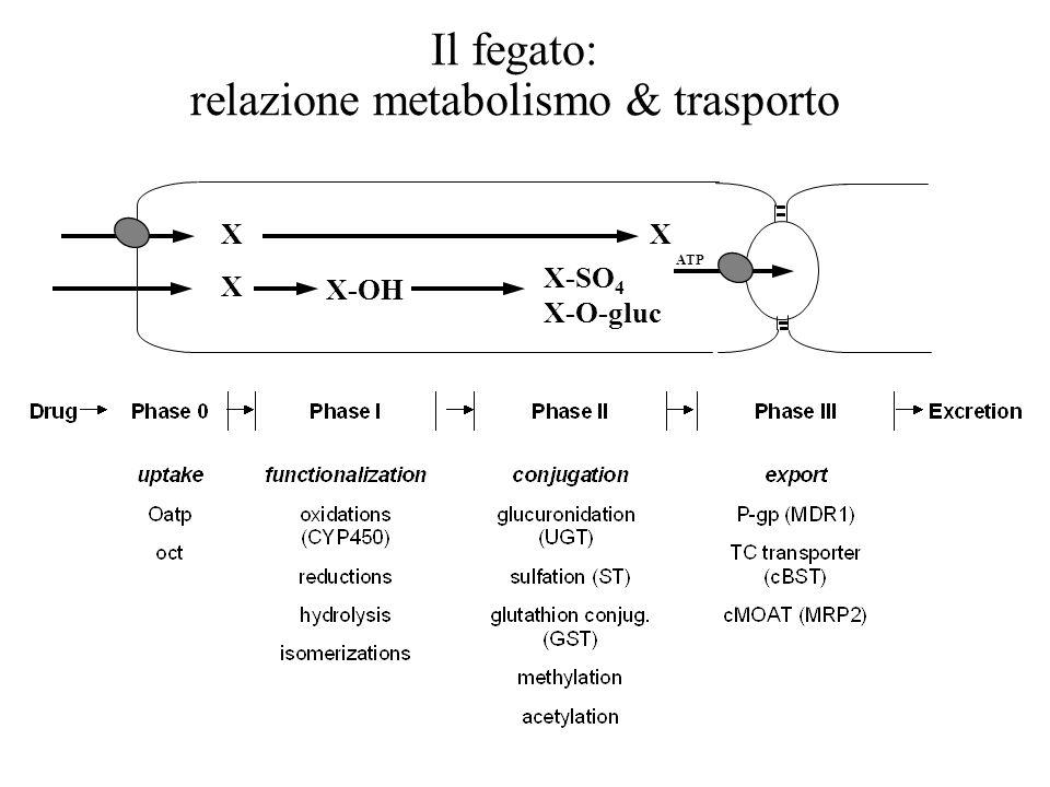 Il fegato: relazione metabolismo & trasporto ATP X X X-OH X-SO 4 X-O-gluc X