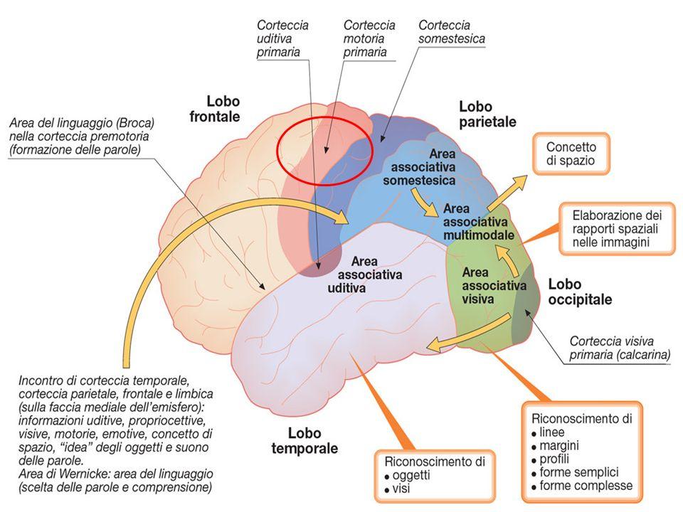 Liperattività nel pre- SMA durante il sequenziamento dellazione può essere un meccanismo di compensazione per la disfunzione iniziale e questo meccanismo di compensazione può essere avviato dal cervelletto.