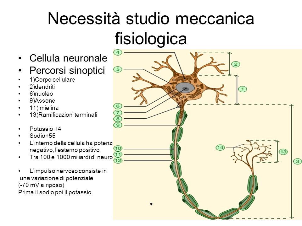 Necessità studio meccanica fisiologica Cellula neuronale Percorsi sinoptici 1)Corpo cellulare 2)dendriti 6)nucleo 9)Assone 11) mielina 13)Ramificazion