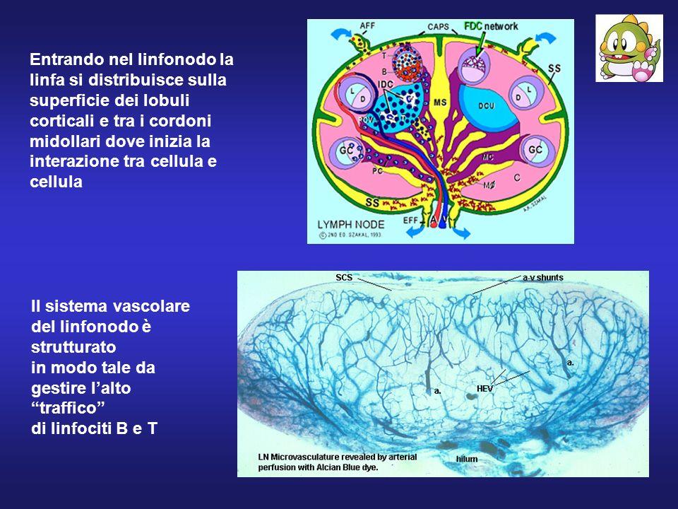 Entrando nel linfonodo la linfa si distribuisce sulla superficie dei lobuli corticali e tra i cordoni midollari dove inizia la interazione tra cellula