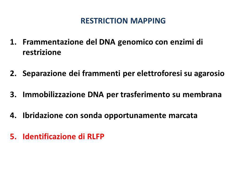 RESTRICTION MAPPING 1.Frammentazione del DNA genomico con enzimi di restrizione 2.Separazione dei frammenti per elettroforesi su agarosio 3.Immobilizz