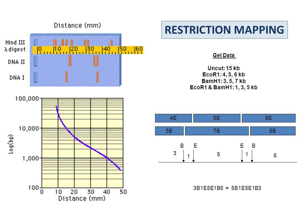 6E4E5E 3B5B7B BEBE 3 1 15 5 3B1E5E1B5 = 5B1E5E1B3 Gel Data Uncut: 15 kb EcoR1: 4, 5, 6 kb BamH1: 3, 5, 7 kb EcoR1 & BamH1: 1, 3, 5 kb RESTRICTION MAPP