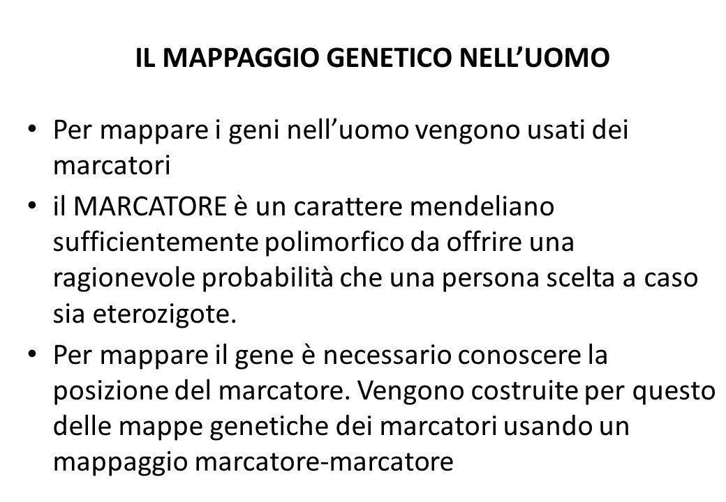 IL MAPPAGGIO GENETICO NELLUOMO Per mappare i geni nelluomo vengono usati dei marcatori il MARCATORE è un carattere mendeliano sufficientemente polimor