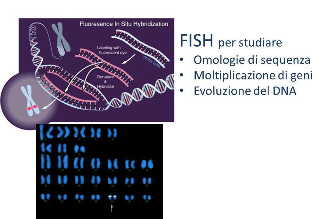 FISH per studiare Omologie di sequenza Moltiplicazione di geni Evoluzione del DNA FISH per localizzare Delezioni Traslocazioni Inserzioni