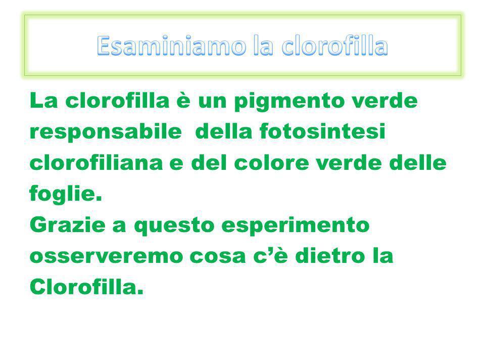 La clorofilla è un pigmento verde responsabile della fotosintesi clorofiliana e del colore verde delle foglie. Grazie a questo esperimento osserveremo