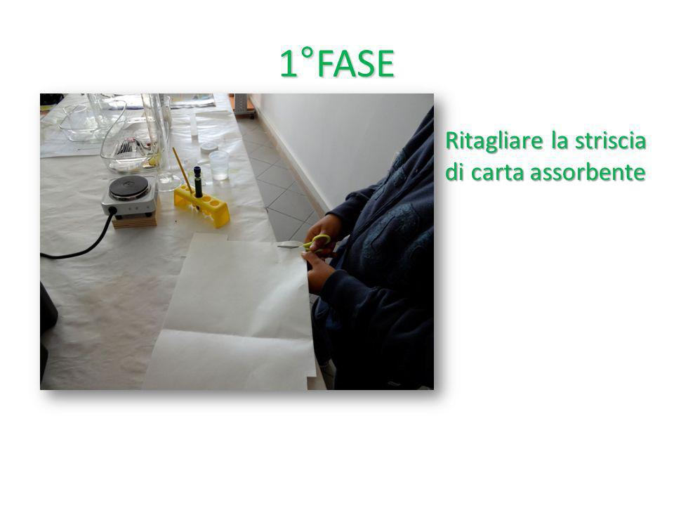 2° FASE Col pennellino spalmare una striscia di clorofilla sulla carta assorbente