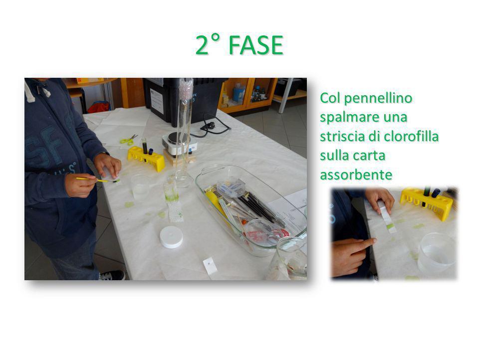 3°FASE Prima che la clorofilla si espanda sulla carta asciugare la clorofilla e ripetere loperazione più volte