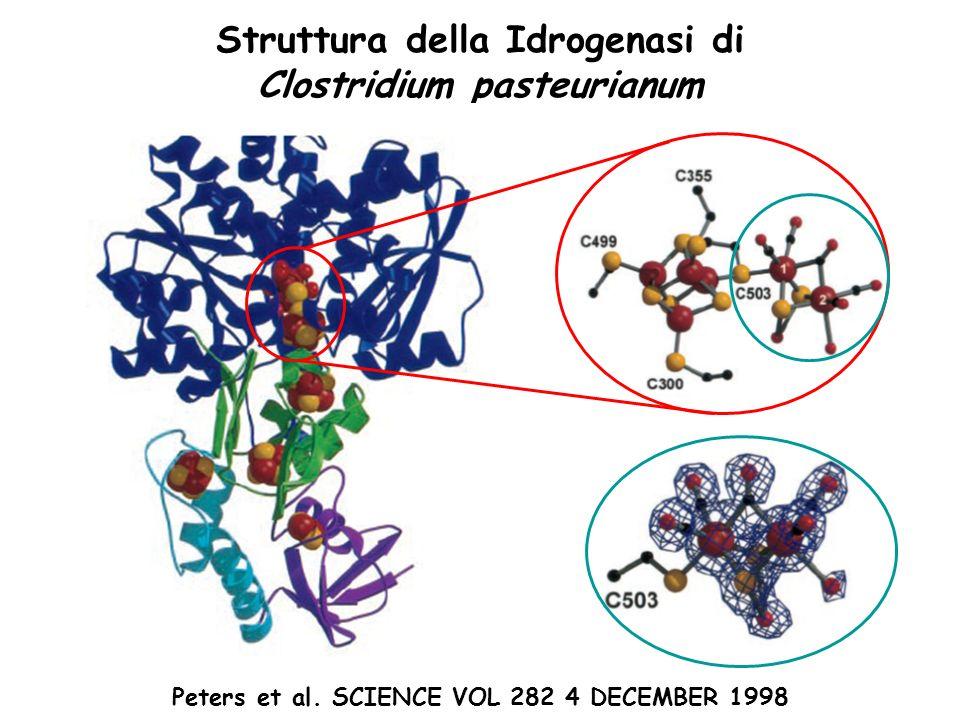 Peters et al. SCIENCE VOL 282 4 DECEMBER 1998 Struttura della Idrogenasi di Clostridium pasteurianum