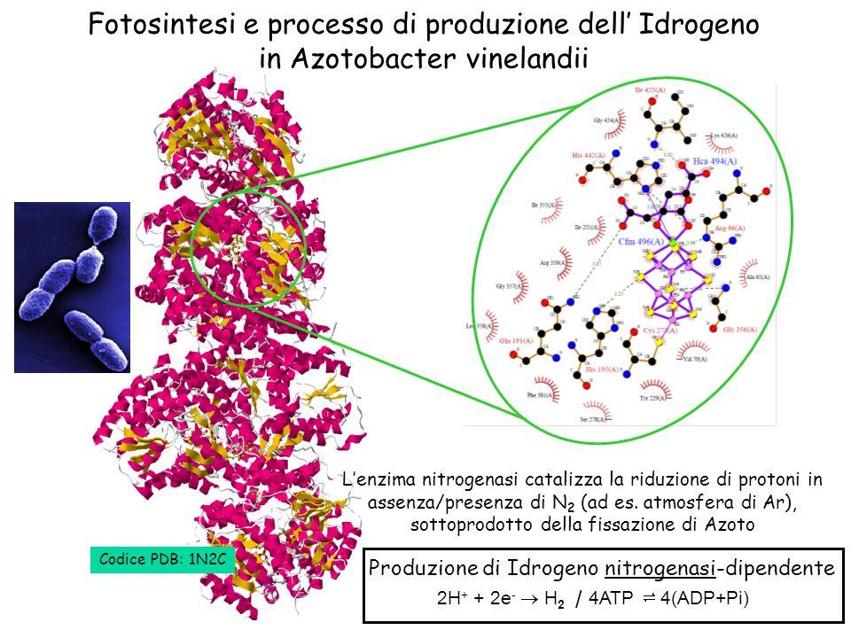 Produzione di Idrogeno nitrogenasi-dipendente 2H + + 2e - H 2 4ATP 4(ADP+Pi) / Fotosintesi e processo di produzione dell Idrogeno in Azotobacter vinel